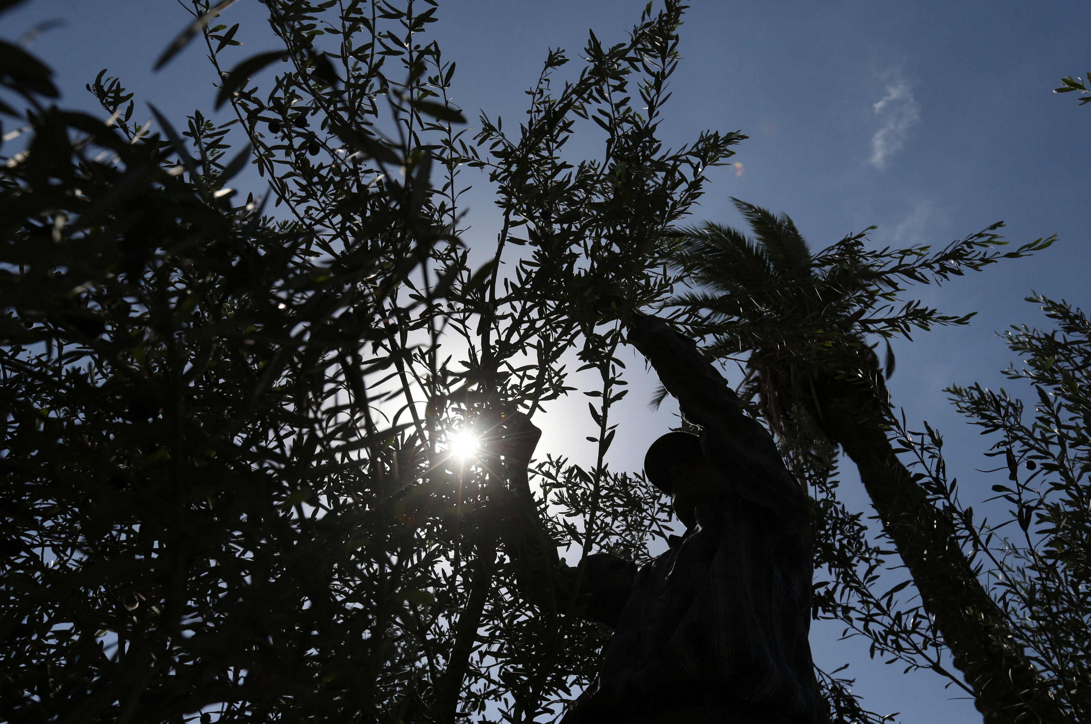 Palestinian man picks olives during harvest season at a farm in Khan Younis, the southern Gaza Strip